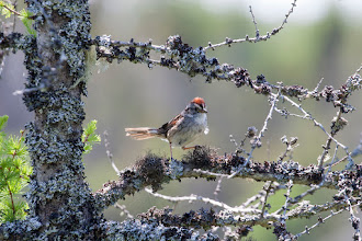 Photo: Swamp Sparrow Bidgoods Park