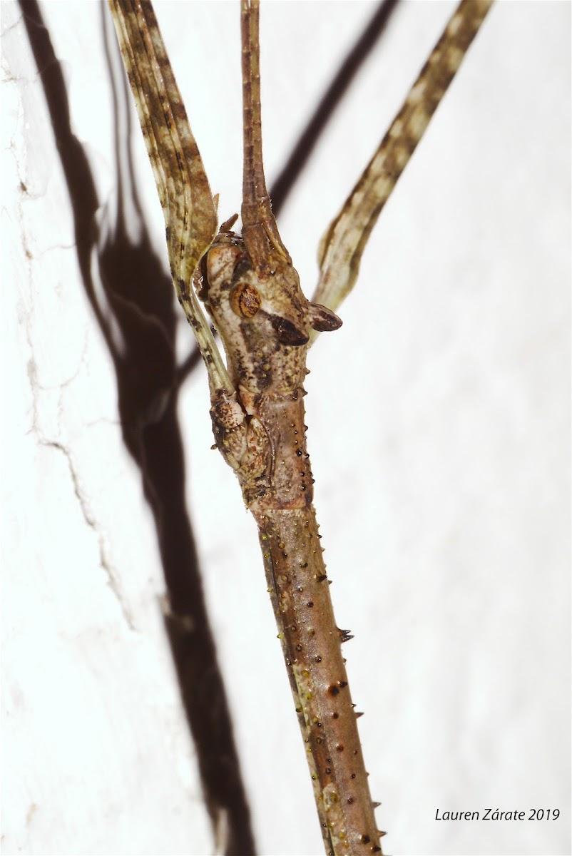 Bat-Earred Walking Stick