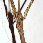 Bat-Earred Walking Stick