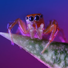 Spider by Trisviadi Effendi - Animals Insects & Spiders ( macro, spider )