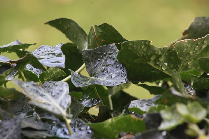 Edera dopo la pioggia di clpss