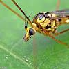 Tiger Crane Fly