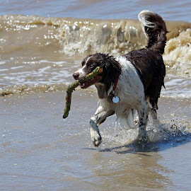 Fetch that Stick! by Ingrid Anderson-Riley - Animals - Dogs Playing