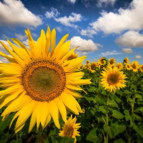 sun+flower=sunflower by Lupu Radu - Flowers Flowers in the Wild ( sky, green, dobrogea, sunflower, yellow, flower, sun,  )