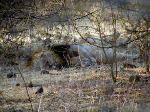 Photo: This was such a big experience for me - an Asian Lion at Gir in Gujarat