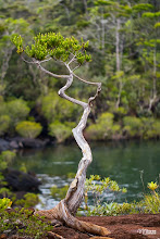 Photo: [RO] O prezenta inedita în preajma cascadei Madeleine - chiparosul candelabru. Un bonsai suta la suta Neo Caledonian (Neocallitropsis pancheri)  [EN] A unique presence around Madeleine waterfall - The chandelier cypress. One hundred percent New Caledonian bonsai (Neocallitropsis pancheri)