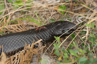 Photo: Red-Bellied Black Snake (Pseudechis porphyriacus) and bull ant (Myrmecia)