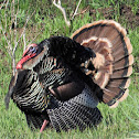 Wild turkey (male)