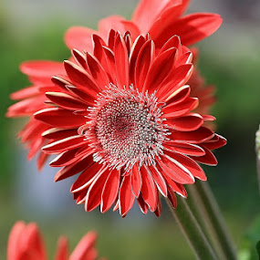RED FANTASY by Giovanna Pagliai - Flowers Flower Gardens ( plant, new, old, red, nature, buds, gerbera )