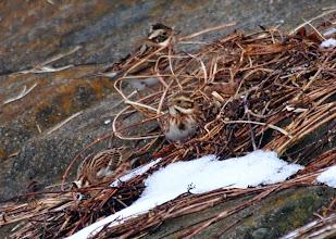 Photo: 撮影者:粕谷和夫 カシラダカ タイトル:大雪の後のカシラダカの採餌 観察年月日:2014年2月11日 羽数:3羽 場所:浅川左岸・鶴巻橋上流側の堤防の側面 区分:行動 メッシュ:八王子5K コメント:3日前の大雪で地面が雪で覆われているため、所々枯草が露出している所に集まって来ている採餌。別の同じような場所ではホオジロ、アオジ、スズメが一緒に集まって採餌。いつもより人が近づいても逃げなかった。