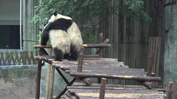 Giant Panda Breeding Center