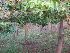 Photo: Passion fruit trellis