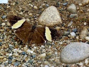 Photo: SMALL (DIRCE) BEAUTY--colobura  dirce--TRACK TO APUYA