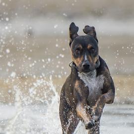 by Trevor Bond - Animals - Dogs Running ( play, run, dog, water,  )