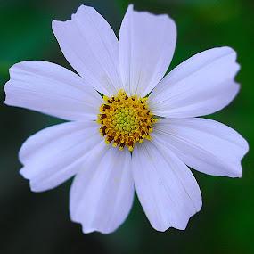 Cosmos by Daniel Sapag - Flowers Single Flower