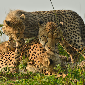 Mother Cheetah and cubs by Bill Frank - Animals Lions, Tigers & Big Cats
