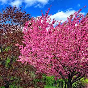 Prospect park  by Aurelio Firmo - City,  Street & Park  City Parks ( spring, cherry blossom, new york )