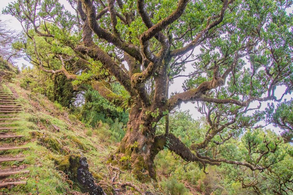laurierboom