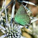 The green hairstreak