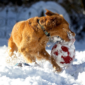 Winter fun by Kimberly Davidson - Animals - Dogs Playing ( retrievers, dogs, winter, female golden retriever, golden, golden retriever, animal snow  )