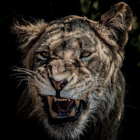 lion growling by Peter Schoeman - Animals Lions, Tigers & Big Cats ( big, leader, fur, beauty, strength, big five, endangered, danger, beautiful, white, leo, male animal, hunter, africa, large, king, animal head, lion, whiskers, background, carnivore, wilderness, animal, looking, adult, big cat, creature, male, strong, safari, dangerous, icon, isolated, majestic, gold, head, lion head, mammal, cat, dark, power, wildlife, nature, predator, black, portrait, face, african, wild cat, wild )