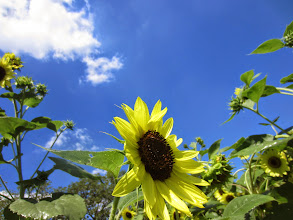 Photo: Yellow sunflower under blue sky and white clouds at Cox Arboretum and Gardens of the Five Rivers Metroparks in Dayton, Ohio.
