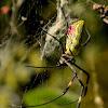 Jorō spider