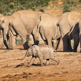 Tantrum by Anne-Marie  Fuller  - Animals Other Mammals ( mammel, big 5, nature, elephants, baby elephant, wildlife,  )