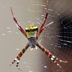 spider by Vijayendra Venkatesh - Nature Up Close Webs