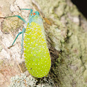 Green and Yellow Hornless Lanternfly