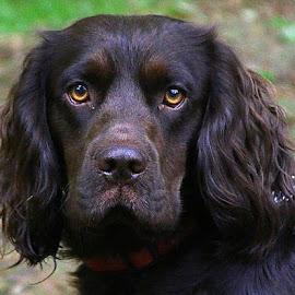 Billy by Chrissie Barrow - Animals - Dogs Portraits ( jowels, cocker spaniel, pet, male, fur, ears, brown, dog, nose, portrait, eyes,  )