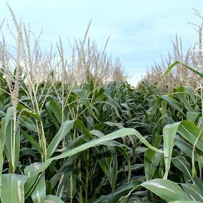 corn by Lina Turoci - Novices Only Flowers & Plants ( sky, autumn, sunset, green, stalk, summer, corn )