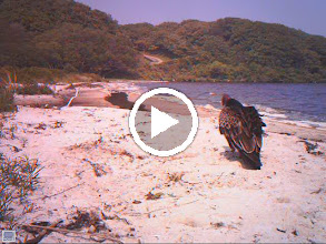 Video: A Turkey Vulture Takes a Drink!