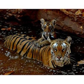 The great Royal Bengal and her cub... by Avishek Patra - Animals Lions, Tigers & Big Cats ( tiger tigeress cub royal bengal water pool lion big cat bandhavgarh india madhya pradesh,  )