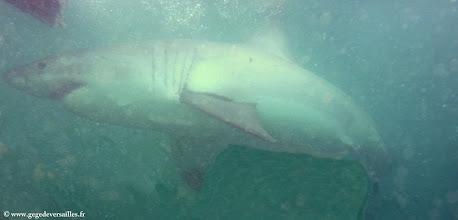 Photo: #013-Sous l'eau, ils sont très impressionnants.
