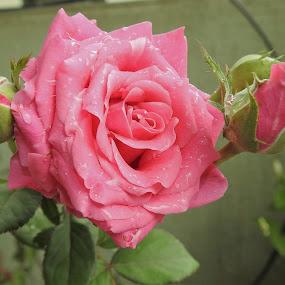 ROSE1 by Vivek Naik - Flowers Flower Gardens (  )