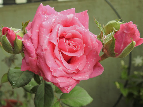 ROSE1 by Vivek Naik - Flowers Flower Gardens (  )