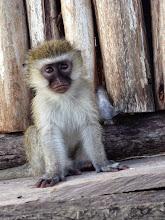 Photo: baby monkey!