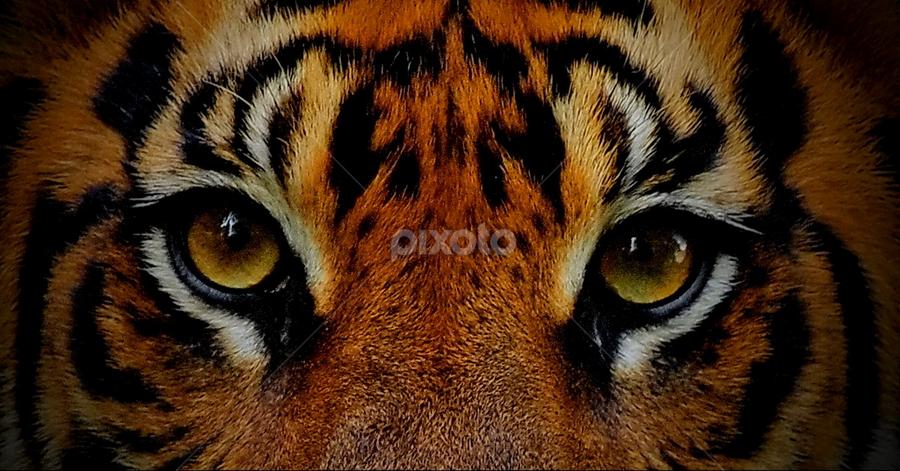 menatap by Ujang ubed Hidayat - Animals Lions, Tigers & Big Cats