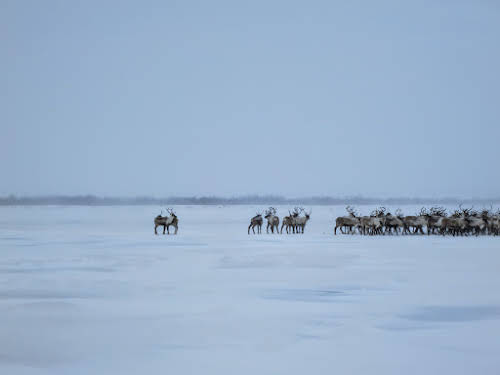 Male reindeers after the crossing
