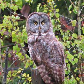 Great Grey Owl by Chris Bertenshaw - Animals Birds ( wild, nature, owl, great grey owl,  )