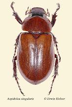 Photo: Aspidolea singularis. 18 mm, Costa Rica, Esquinas Rainforest (08°42´/-83°12´), leg. Erwin Holzer, det. Angel Solis