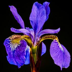Purple Iris by Jim Keating - Flowers Single Flower ( purple, iris, bloom, garden, blossom, flower,  )