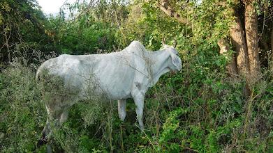 Photo: Die Kuh ist heilig in Indien