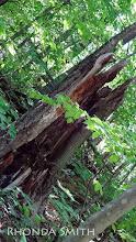 Photo: A strange, half broken tree trunk.