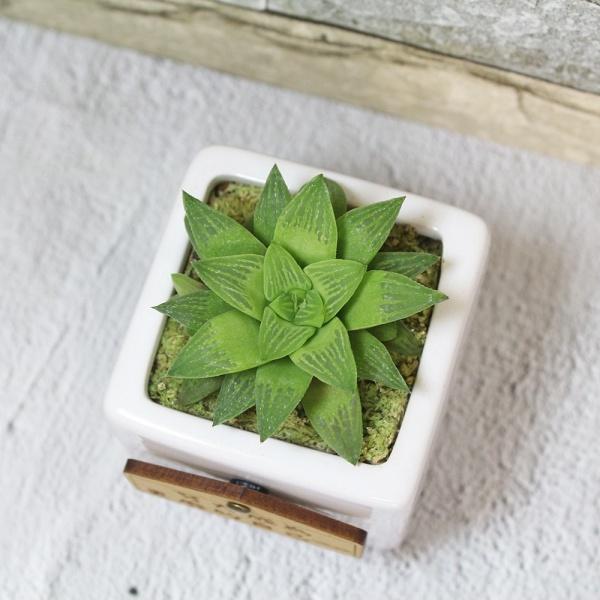 多肉植物照顧-百合科、菊科注意事項
