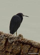 Photo: Little Blue Heron, Nuevo Vallarta