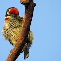 The coppersmith barbet