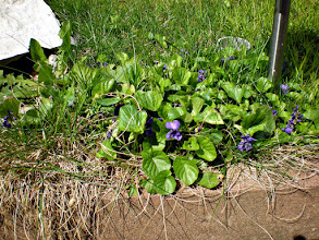 Photo: These little violets have been showing flowers now for about a week. Only today I took the time to take a photo of them. Also for #PurpleCircle curated by +lynn langmade, +Craig Szymanski, +Sinead Sam McKeown and +Alexis Coram