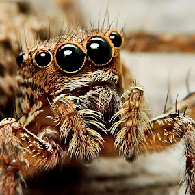 Hey.. You!! by Cibo Heriansyah - Animals Insects & Spiders ( macro, spider, eyes spider jump, close )